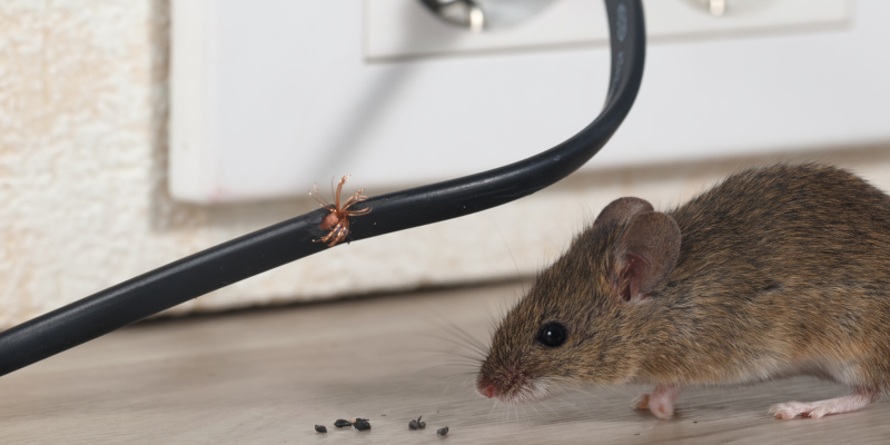 you need rodent control is the presence of rodent droppings