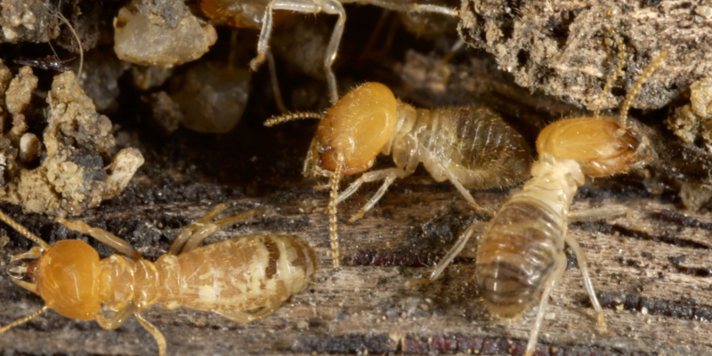 termite control services by a professional exterminator